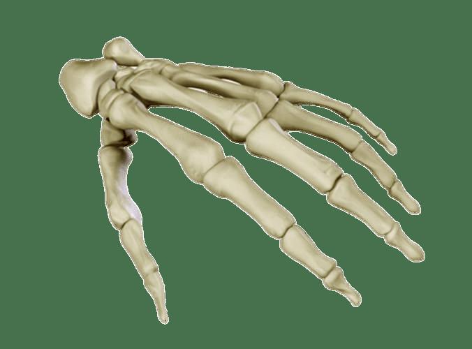 Huesos de la Mano PNG transparente - StickPNG