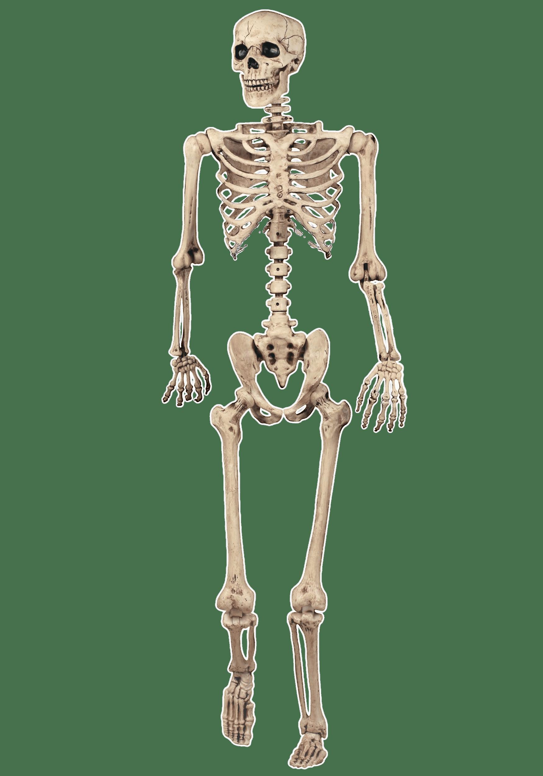 Full Skeleton Model transparent PNG - StickPNG