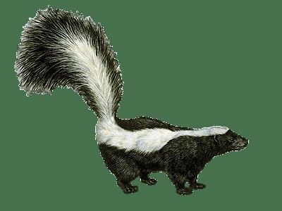 Skunk Drawing Transparent Png Stickpng