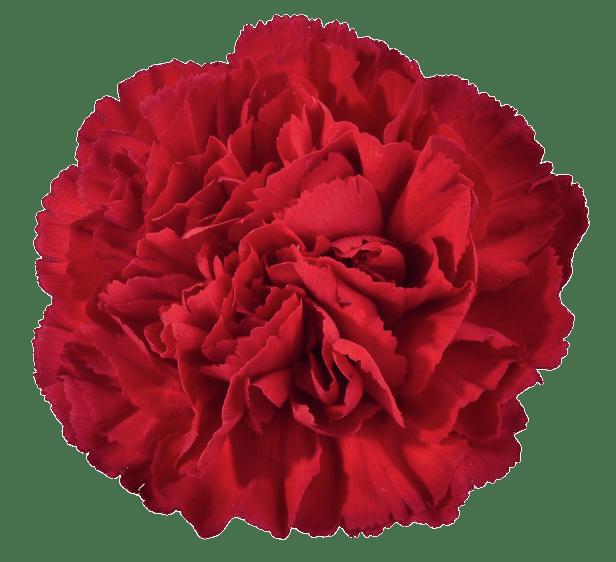 Red Carnation Transparent Png Stickpng