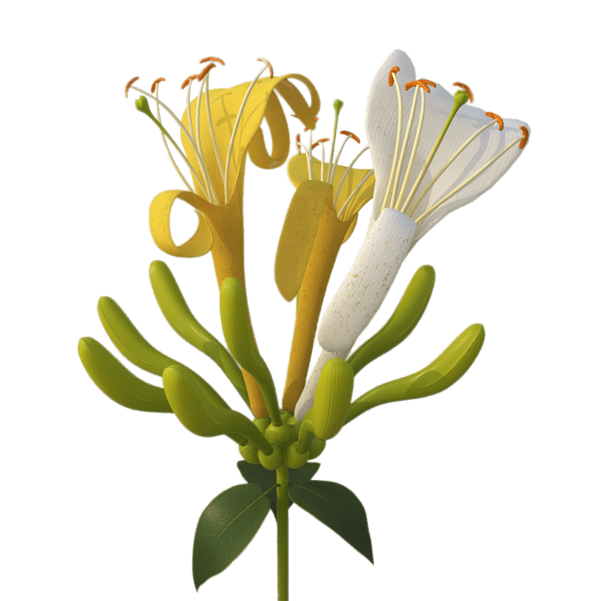 Yellow And White Honeysuckle Flowers Transparent Png Stickpng