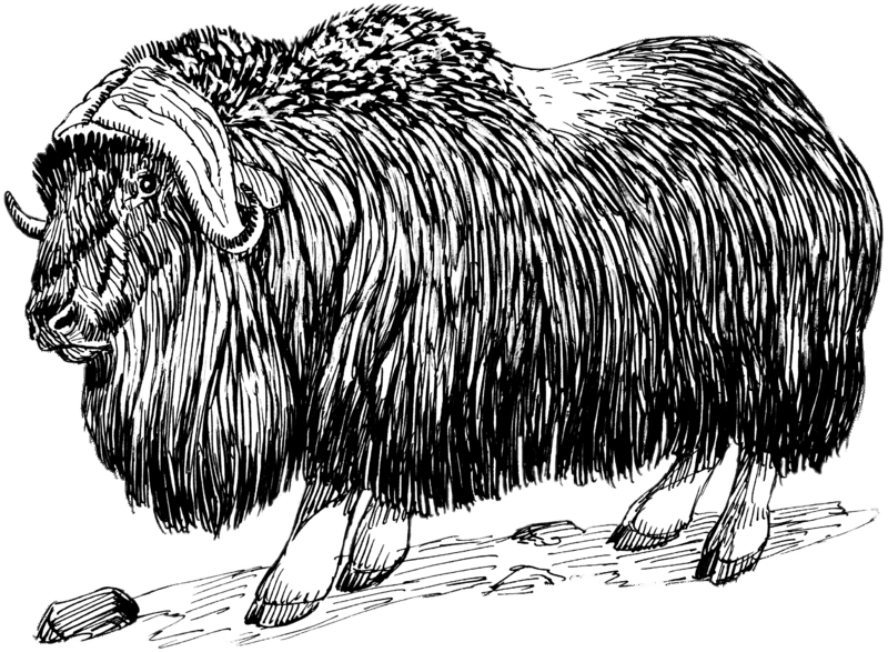 Musk Ox Drawing Black And White Transparent Png Stickpng