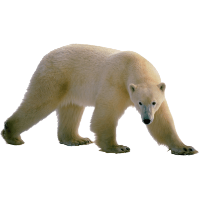 Image result for polar bear no background