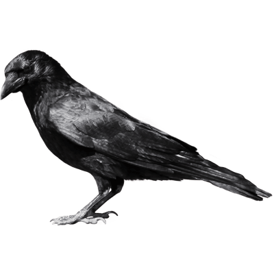 black crow sideview transparent png stickpng