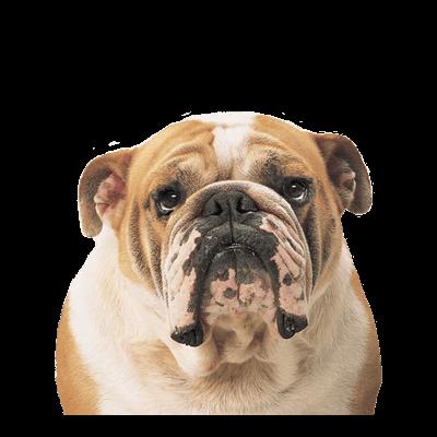 Bulldog Face transparent PNG - StickPNG Sad Bulldog Face