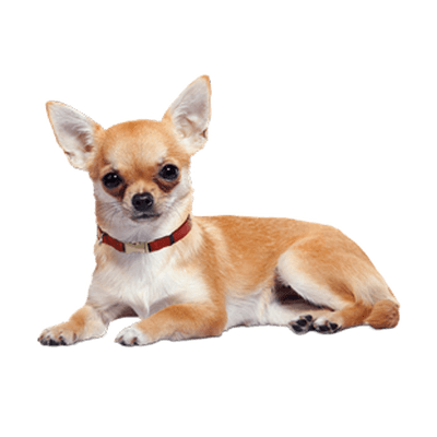 Chihuahua Lying Down Transparent Png Stickpng