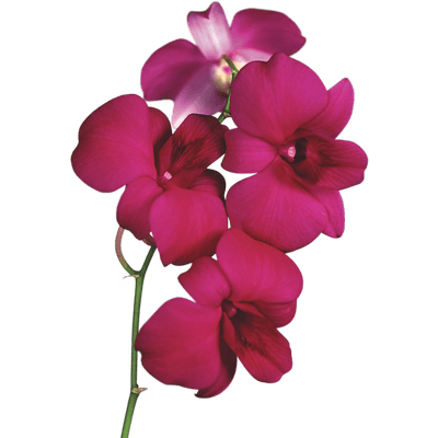 Orchid transparent PNG images - StickPNG