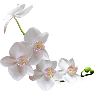 White Orchid transparent PNG - StickPNG