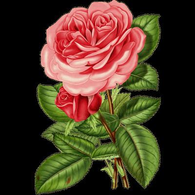 Rose Transparent Png Images Stickpng