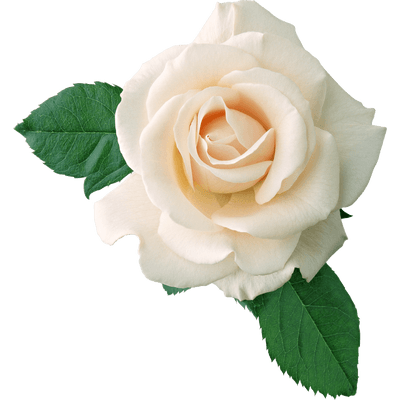 Rosa Blanca En Hoyas Png Transparente Stickpng