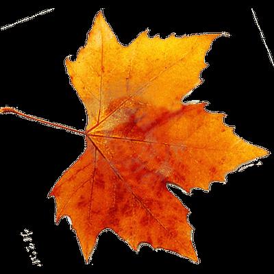 Autunm leaf transparent png stickpng - Descargar autumn leaves ...