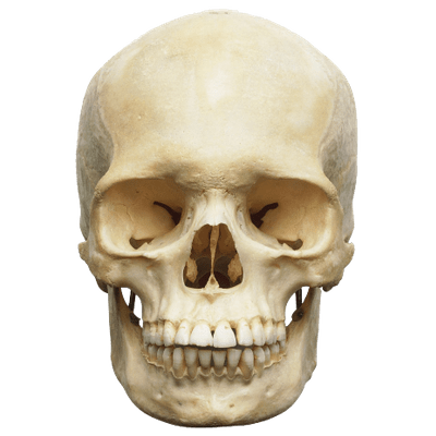human skull transparent png - stickpng, Skeleton