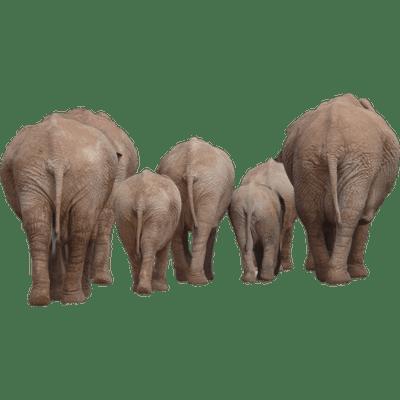 Elephants Transparent Png Images Stickpng African bush elephant indian elephant elephant head lodge, elephant, gray standing elephant transparent background png clipart. stickpng