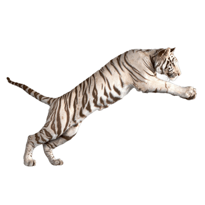 Jumping White Tiger transparent PNG - StickPNG