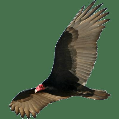 King Vulture Clipart transparent PNG - StickPNG