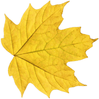 Red Maple Leaf Transparent Png Stickpng