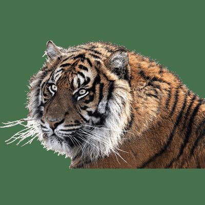Jumping Tiger Clipart transparent PNG - StickPNG