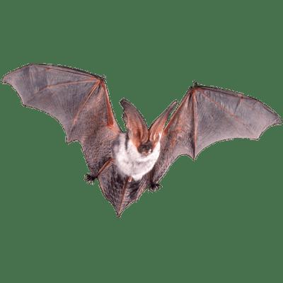 Essay/Term paper: Bats