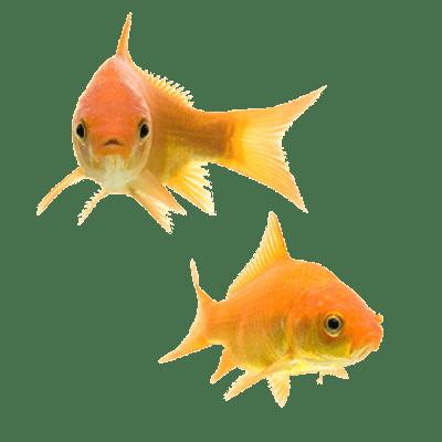 Goldfish Couple Transparent Png Stickpng