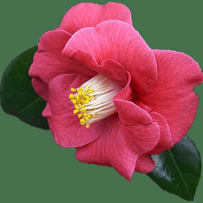 Resultado de imagen para flor png